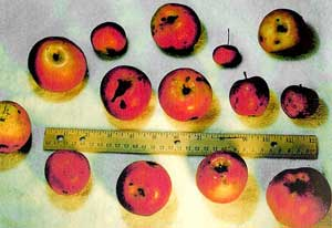 Set of Ripe Apples with Ruler